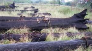 фото: мореный дуб